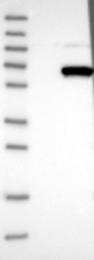 NBP1-83364 - WDR23