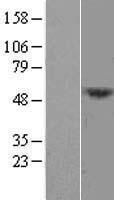 NBL1-17806 - DCAF12L1 Lysate