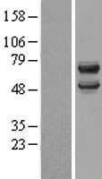 NBL1-09739 - DCDC2 Lysate