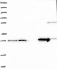 NBP1-91822 - DCI