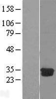 NBL1-09740 - DCK Lysate