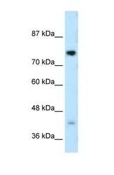 NBP1-59775 - DCST1