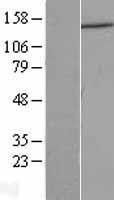 NBL1-09749 - DCTN1 Lysate