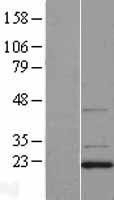 NBL1-09751 - DCTN3 Lysate