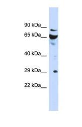 NBP1-55387 - DCUN1D3