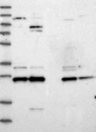 NBP1-81526 - DCUN1D4