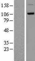 NBL1-09770 - DDHD1 Lysate