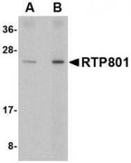NBP1-77321 - DDIT4