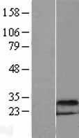 NBL1-09773 - DDIT4 Lysate