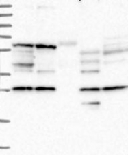NBP1-85884 - D-aspartate oxidase
