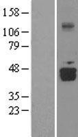 NBL1-09775 - DDO Lysate
