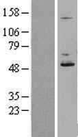 NBL1-09776 - DDOST Lysate