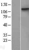 NBL1-09777 - DDR1 Lysate