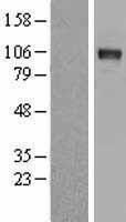 NBL1-09778 - DDR2 Lysate