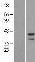 NBL1-08360 - DDRGK1 Lysate