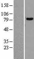 NBL1-09780 - DDX1 Lysate