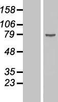 NBL1-09783 - DDX18 Lysate