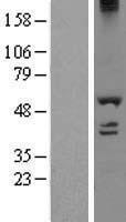 NBL1-09784 - DDX19A Lysate