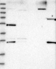NBP1-83328 - DDX25