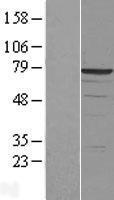 NBL1-09797 - DDX41 Lysate