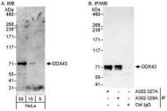 NBP1-28719 - DDX43