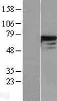 NBL1-09801 - DDX5 Lysate