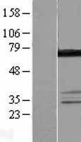 NBL1-09806 - DDX55 Lysate