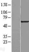NBL1-09807 - DDX56 Lysate