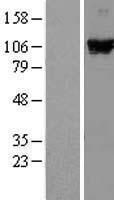 NBL1-09808 - DDX58 Lysate