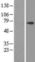 NBL1-09809 - DDX59 Lysate