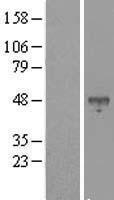 NBL1-07974 - bHLHB2 Lysate