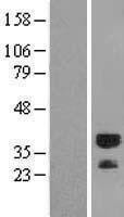 NBL1-15645 - DEDAF Lysate