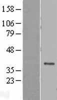 NBL1-09814 - DEDD Lysate