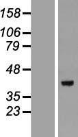 NBL1-09815 - DEDD Lysate