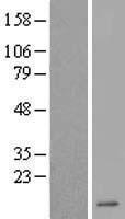 NBL1-09821 - DEFA6 Lysate