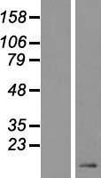 NBL1-09823 - DEFB119 Lysate