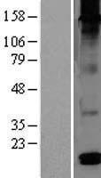 NBL1-09824 - DEFB126 Lysate