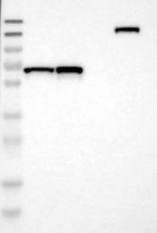 NBP1-90787 - DENND4C