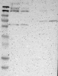 NBP1-90788 - DENND4C