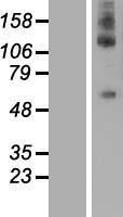 NBL1-09833 - DEPDC1 Lysate