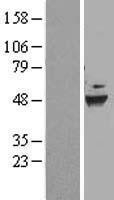 NBL1-09835 - DEPDC6 Lysate