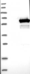 NBP1-86068 - DEPDC7