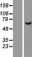 NBL1-09836 - DEPDC7 Lysate