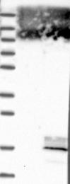 NBP1-81015 - DEXI / MYLE