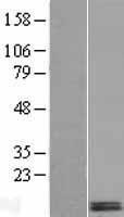 NBL1-09841 - DEXI Lysate