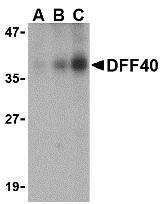 NBP1-76883 - DFFB / CAD