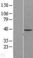 NBL1-09845 - DGAT2 Lysate