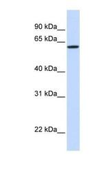 NBP1-59220 - DGCR2