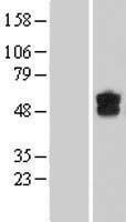 NBL1-09848 - DGCR2 Lysate