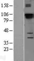 NBL1-09850 - DGCR8 Lysate